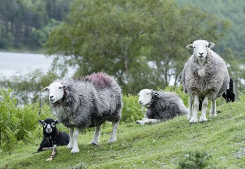 The Herdie Crew Herdwick Sheep Greetings Card